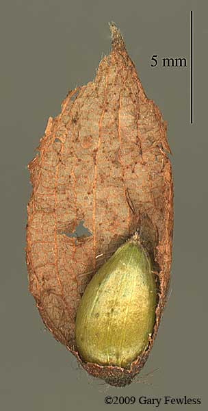 Ostrya virginiana seed with half fruit sack. © 2009 Gary Fewless. University of Wisconsin Green Bay, Herbarium, Cofrin Center for Biodiversity. uwbg.edu
