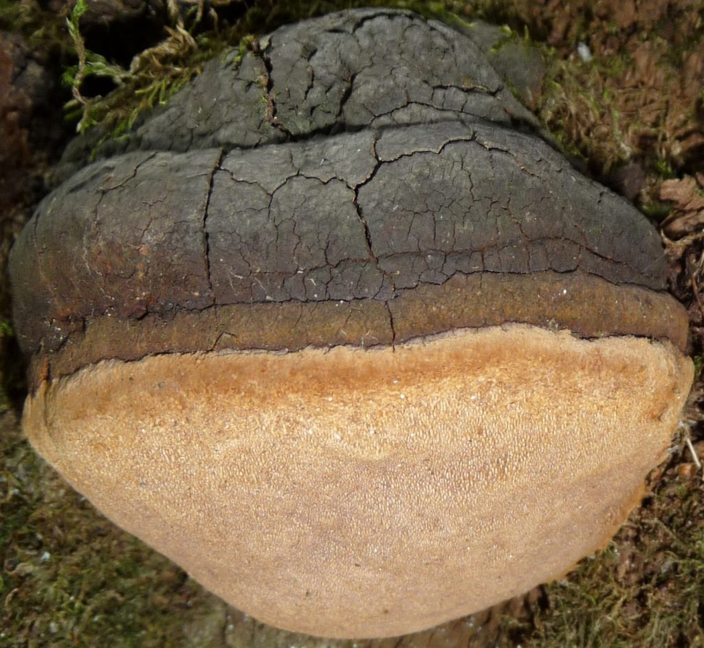 Phellinus igniarius commons.wikimedia.org (Accessed 12/2017).