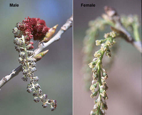 Populus deltoides.male and female inflorescences.Landscape Plants Oregon Stte University.landscapeplants.oregonstate.edu
