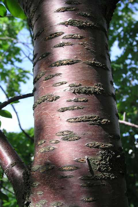 Prunus pensylvanica.bark.departments.bloomu.edu