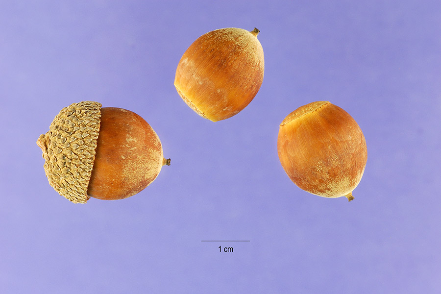 Quercus bicolor.fruit.Steve Hurst, hosted by the USDA-NRCS PLANTS Database