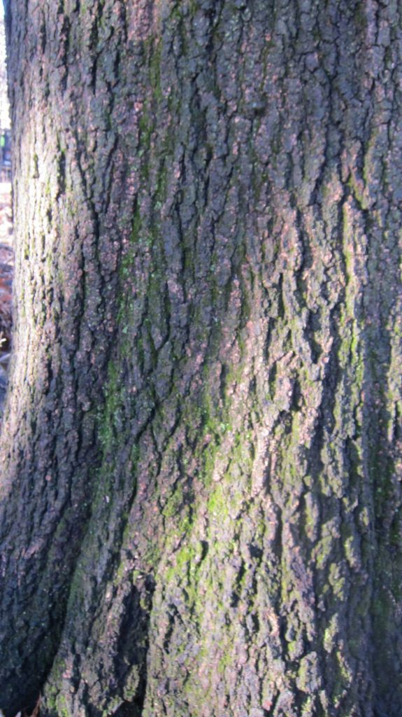 Quercus velutina bark.David Burg.Spuyten Duyvil, NYC. close-up.3/2017