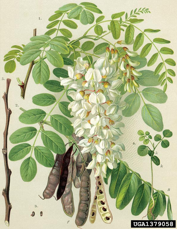 Robinia pseudoacacia.forestryimages.org
