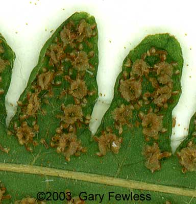 Thelypteris simulata.spore cases (sori).© 2003 Gary Fewless.University of Wisconsin - Green Bay.Cofrin Center for Biology.uwgb.edu