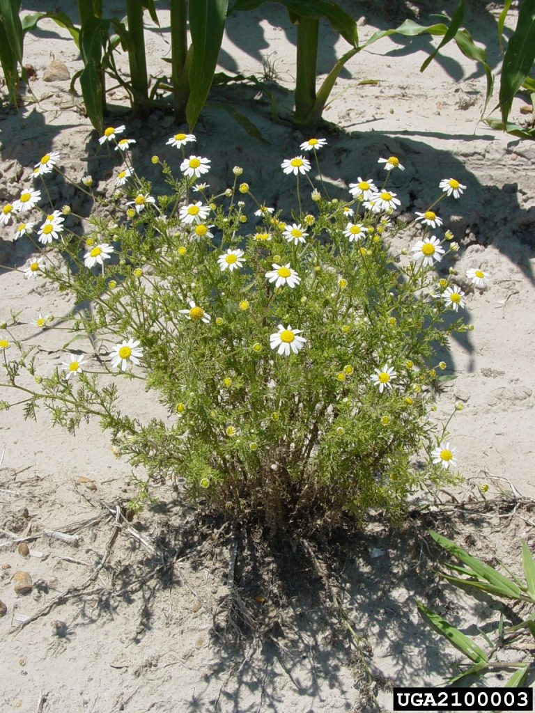 Anthemis cotula (stinking camomile). Charles T. Bryson, USDA Agricultural Research Service, Bugwood.org
