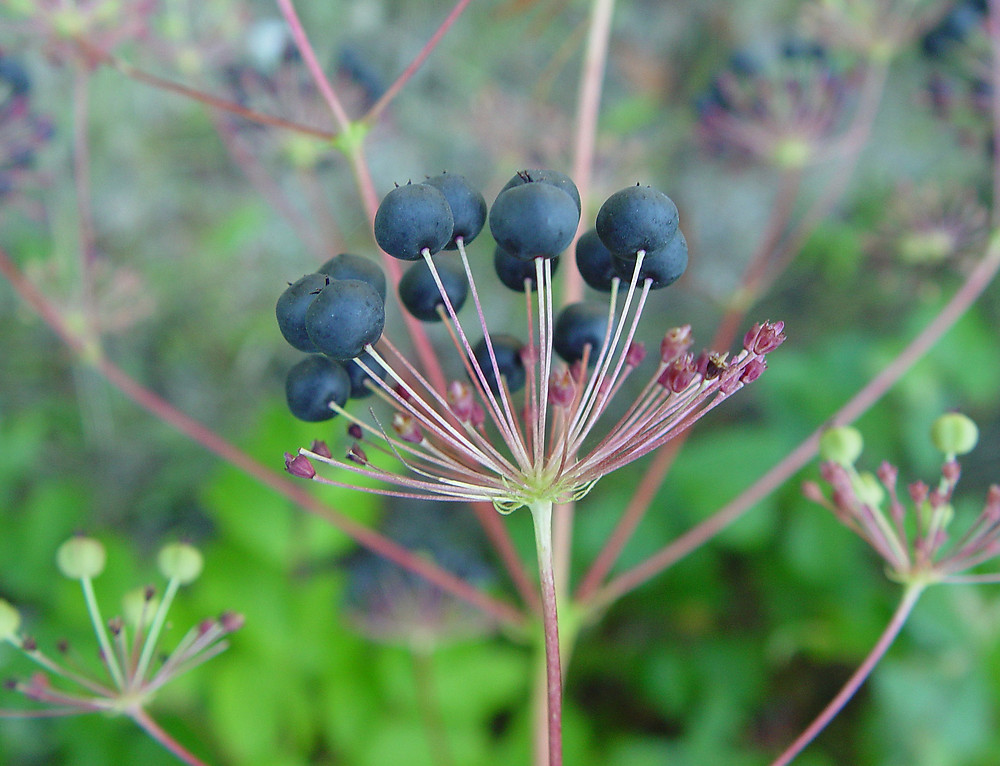 Aralia hispida fruit. By Arthur Haines. Copyright © 2017. New England Wild flower Society. gobotany.newenglandwild.org
