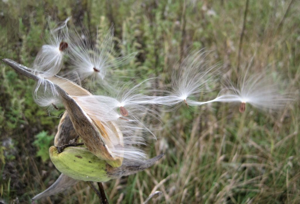 Asclepias syriaca (common milkweed) seed dispersal. Del Orloske MALD 10/2017 2