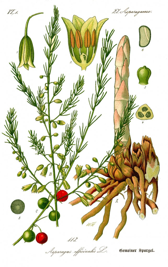 Asparagus officinalis.en,wikipedia.org
