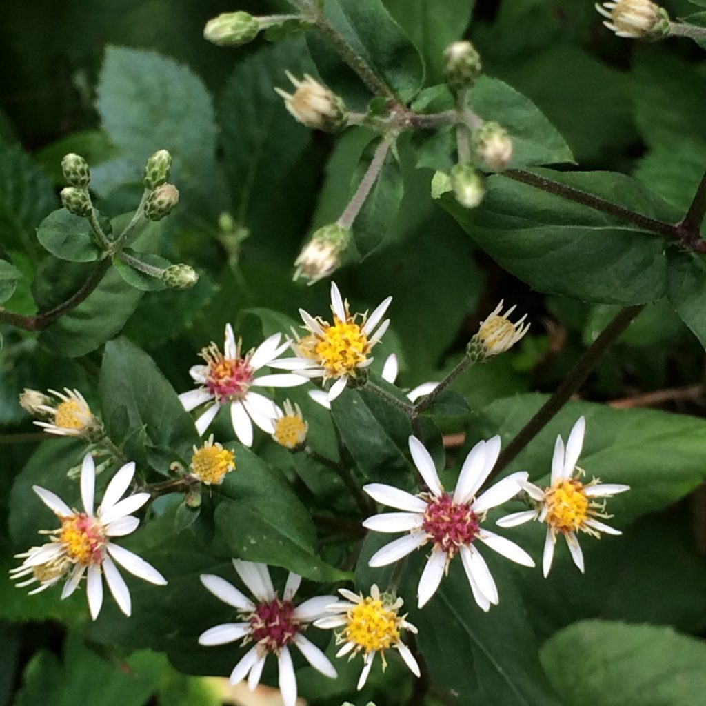 Eurybia divaricata (Aster divaricatus; white wood aster)M.B. Gargiullo.showing two flower colors.Central NJ.8/2015