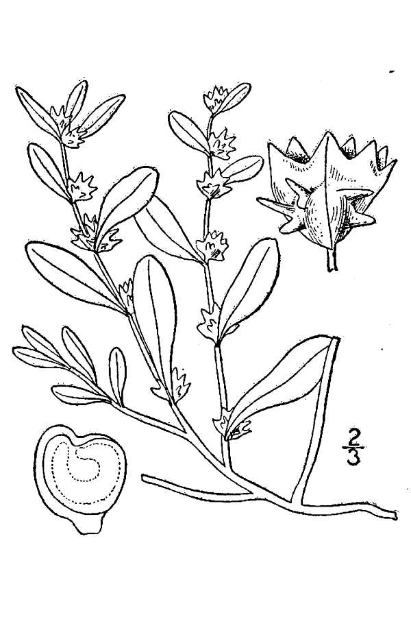 Atriplex arenaria.USDA-NRCS PLANTS Database.Britton, N.L., and A. Brown. 1913.jpg