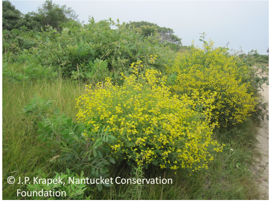 Baptisia tinctora. yellow wild indigo plants in bloom. © J. P. Krapek. Nantucket Conservation Foundation. ncfscience.files.wordpress.com