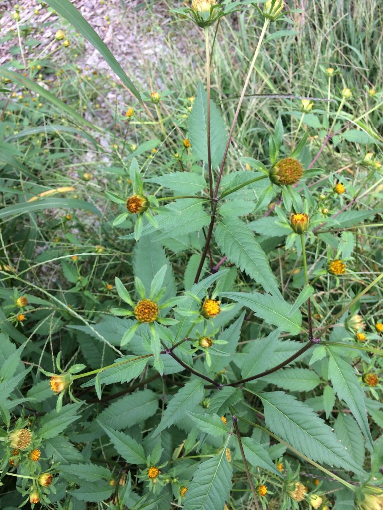 Bidens frondosa (beggar ticks) plant in bloom. MBGargiullo. roadside, Falmouth, MA. 9/14/2017