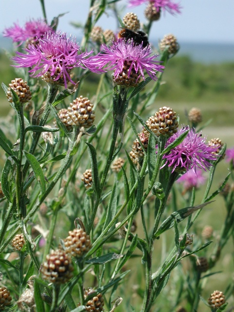 Centaurea jacea. US Fish and Wildlife Service's Region Two Inventory and Monitoring Program and the National Park Service's Southwest Network Collaborative. Seinet. swbiodiversity.org. (Accessed 5/2014).