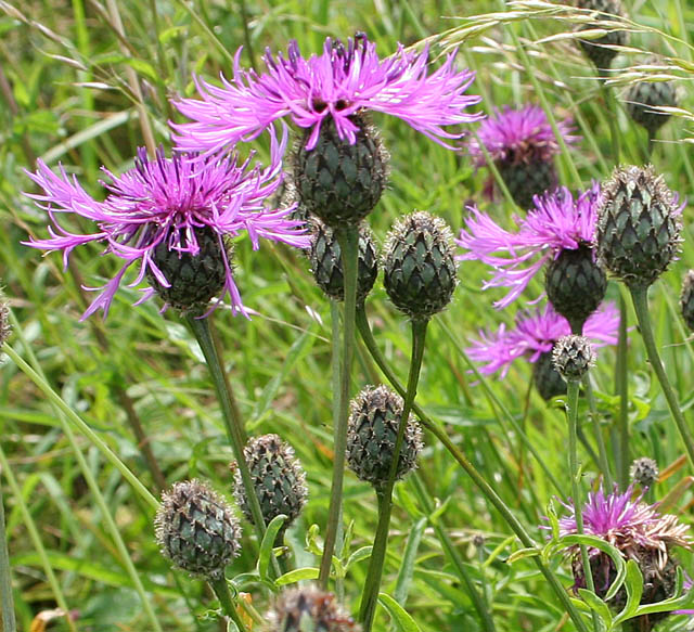 Centaurea nigra (Common knapweed). commons.wikimedia.org