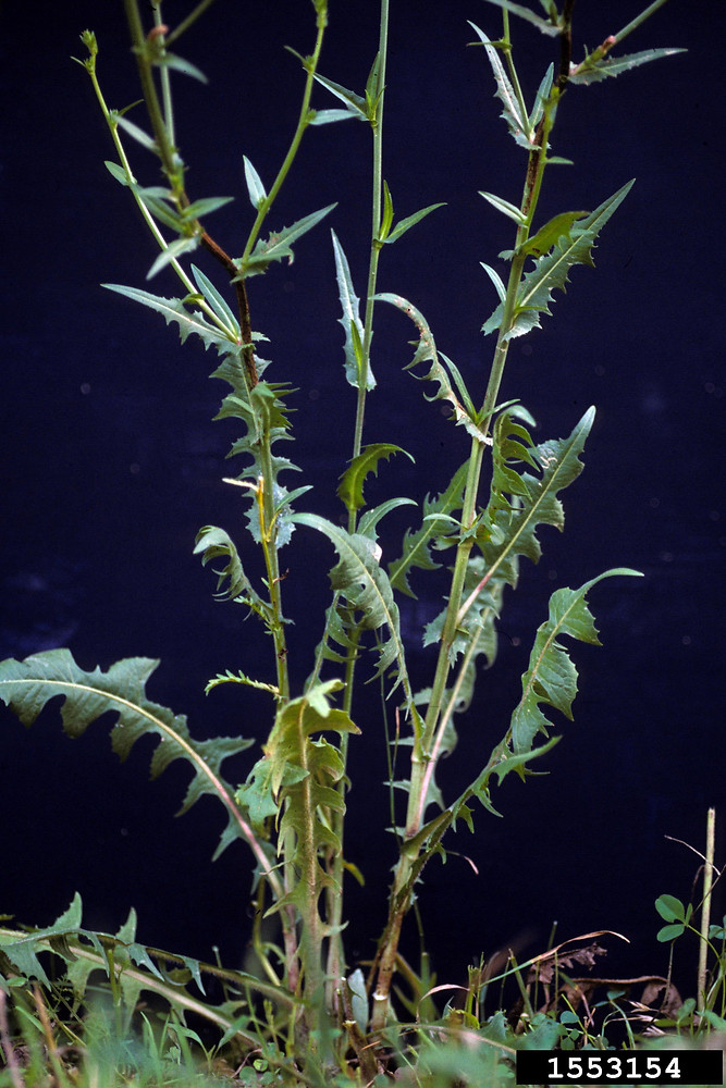 Cichorium intybus plant with leaves. By Ohio State Weed Lab. Copyright © 2018 CC BY-NC 3.0. Bugwood. www.bugwood.org