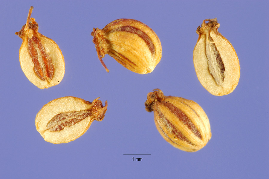 Cicuta maculata fruit. Steve Hurst, hosted by the USDA-NRCS PLANTS Database. plants.usda.gov