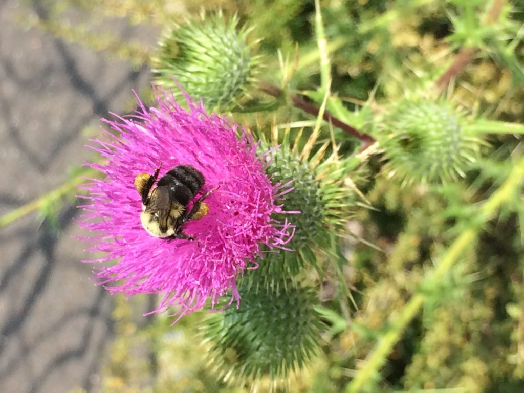 Cirsium vulgare (bull thistle) flower head with Bombus sp. pollinator. MBGargiullo, parking lot central NJ., 8/2017