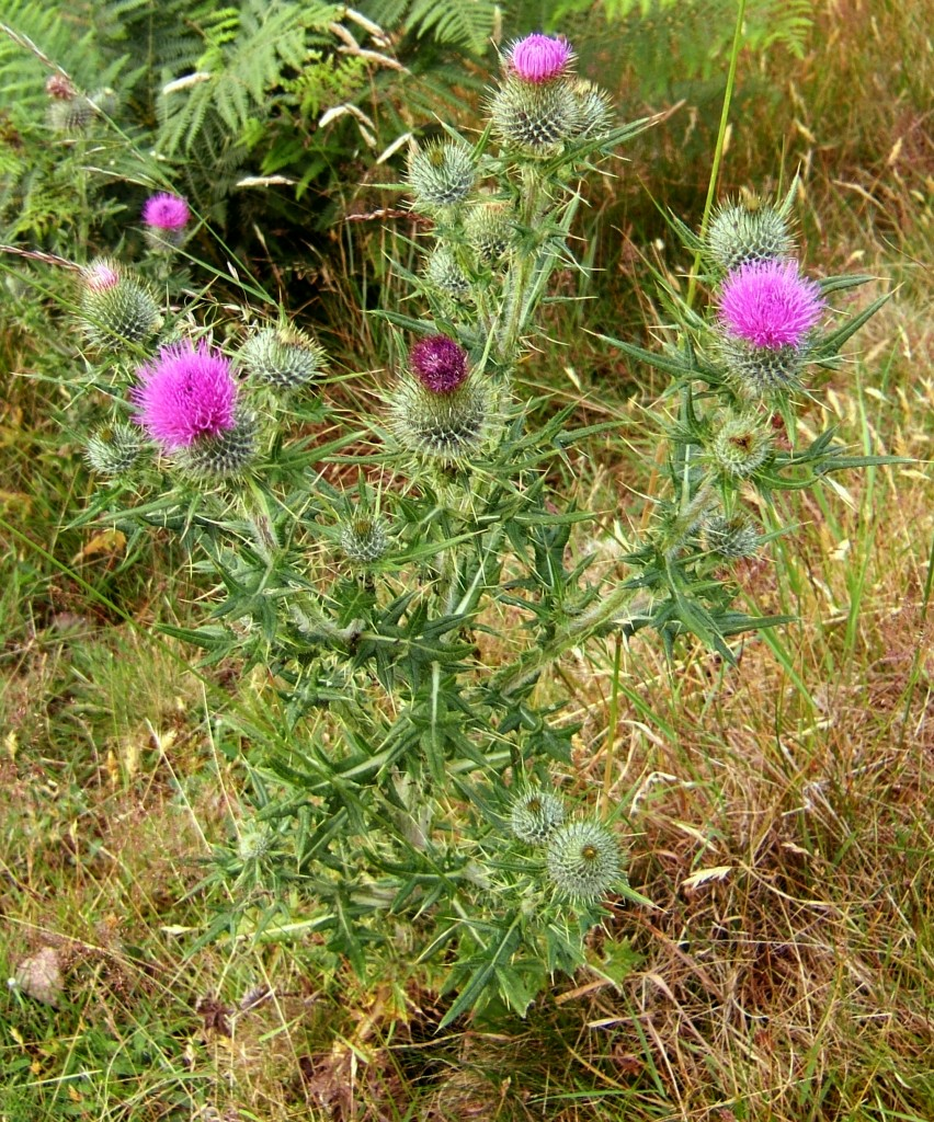 Cirsium vulgare.commons.wikipedia.org