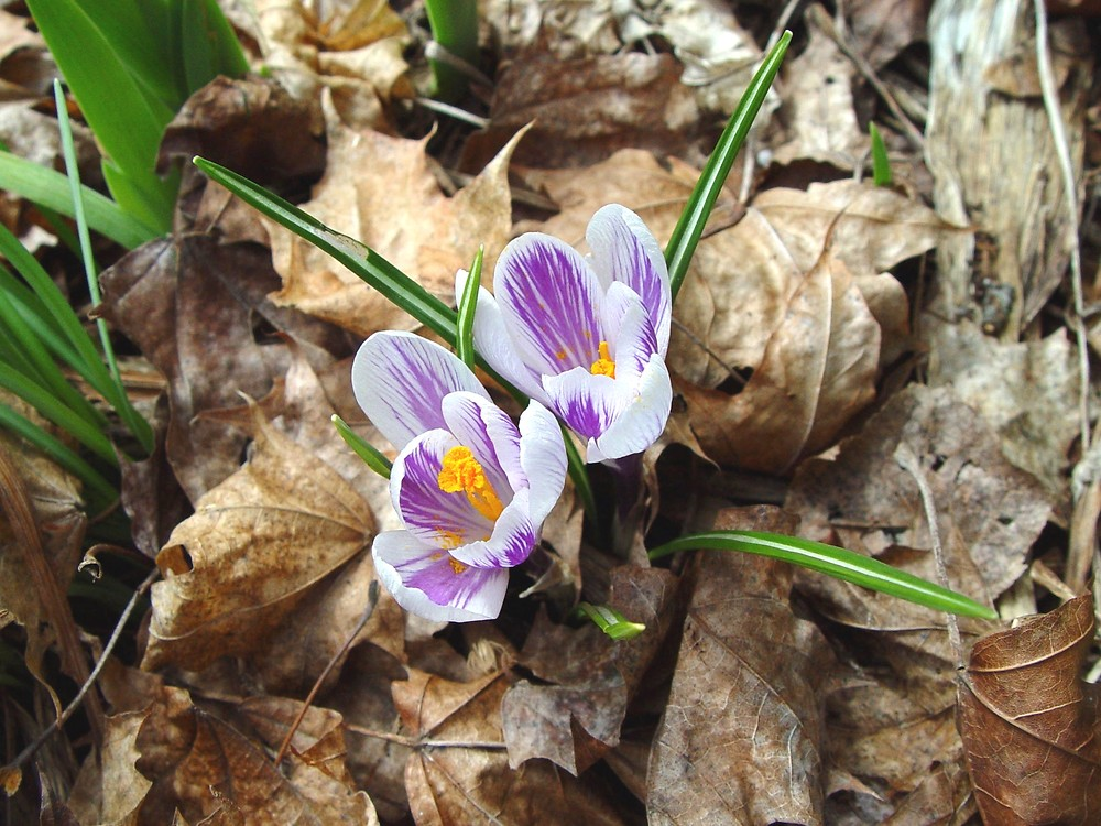 Crocus vernus leaves and flowers. By Arthur Haines. Copyright © 2018. New England Wild Flower Society. gobotany.newenglandwild.org