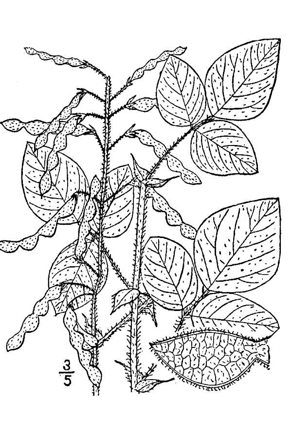 Desmodium canescens.USDA-NRCS PLANTS Database.Britton, N.L., and A. Brown. 1913