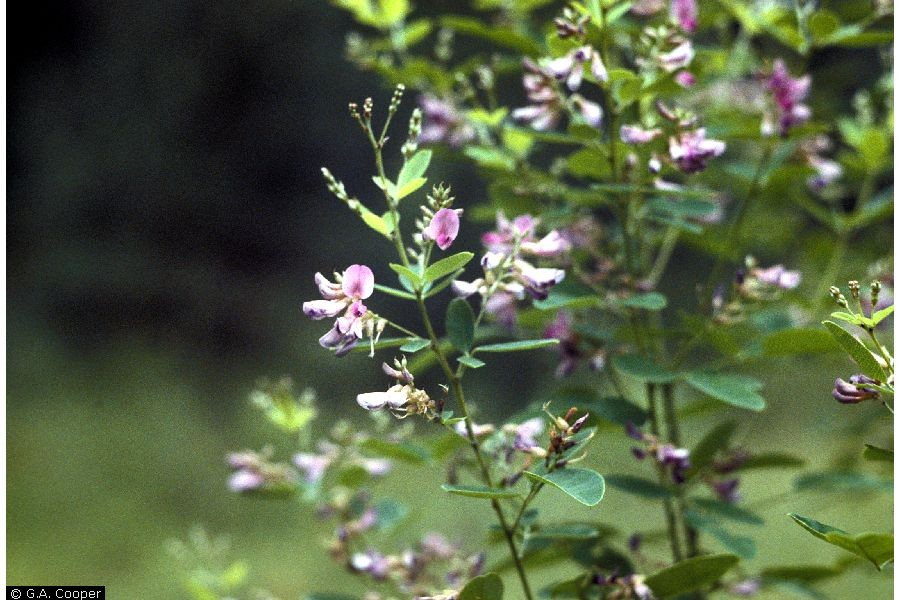 Desmodium cuspidatum.G.A. Cooper @ USDA-NRCS PLANTS Database.Courtesy of Smithsonian Institution
