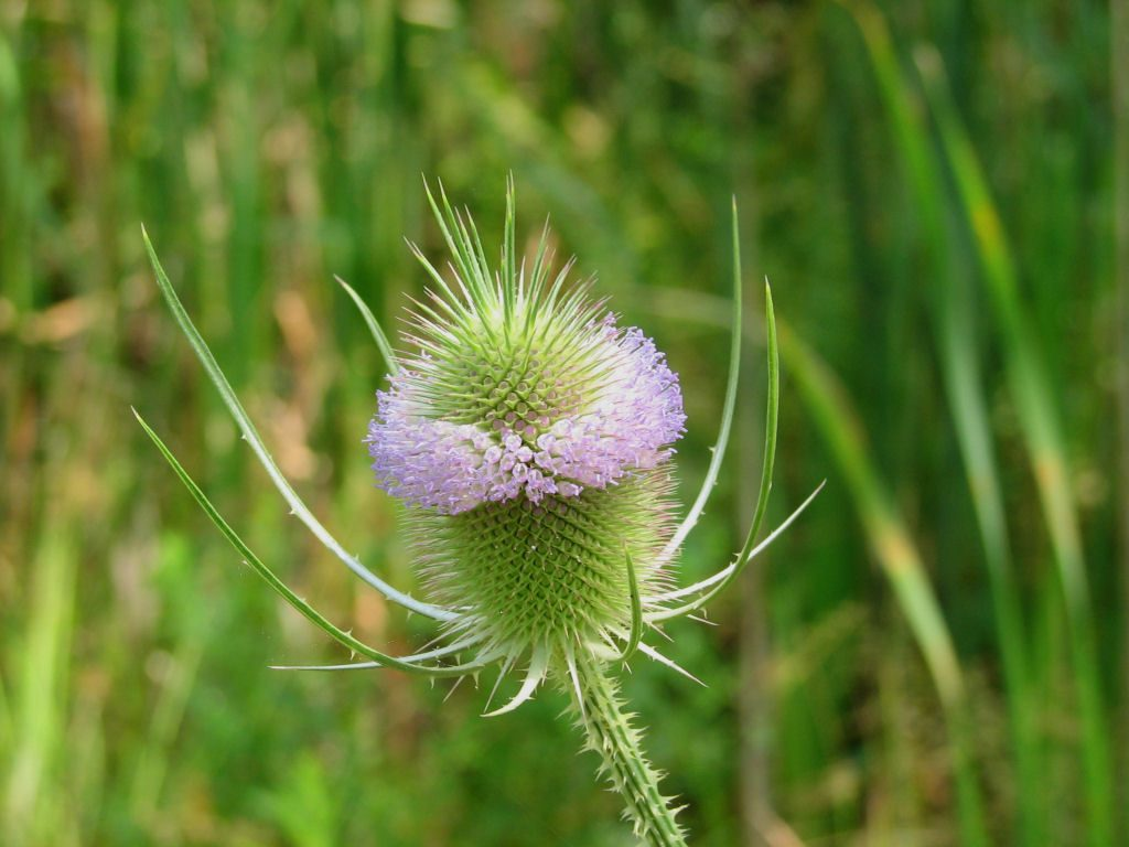 Dipsacus fullonum (teasal) inflorescence. commons.wikimedia.org