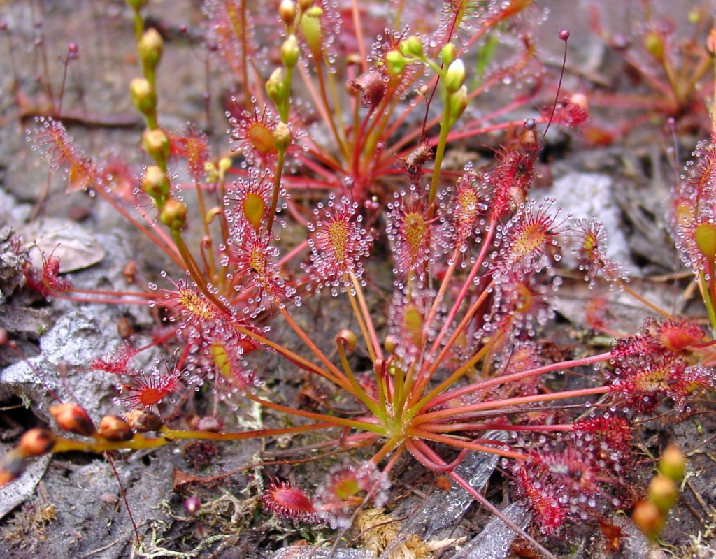 Drosera intermedia.it.wikipedia.org