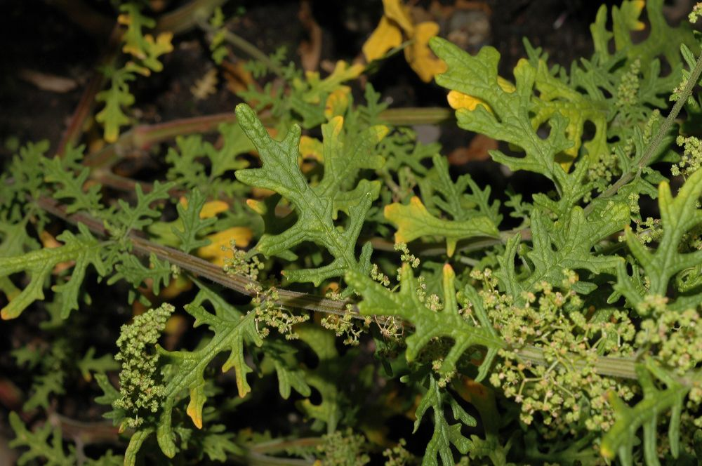 Dysphania botrys (Chenopodium b.). leaves and flowers. © 2004 by Kevin C. Nixon. fossilflowers.org