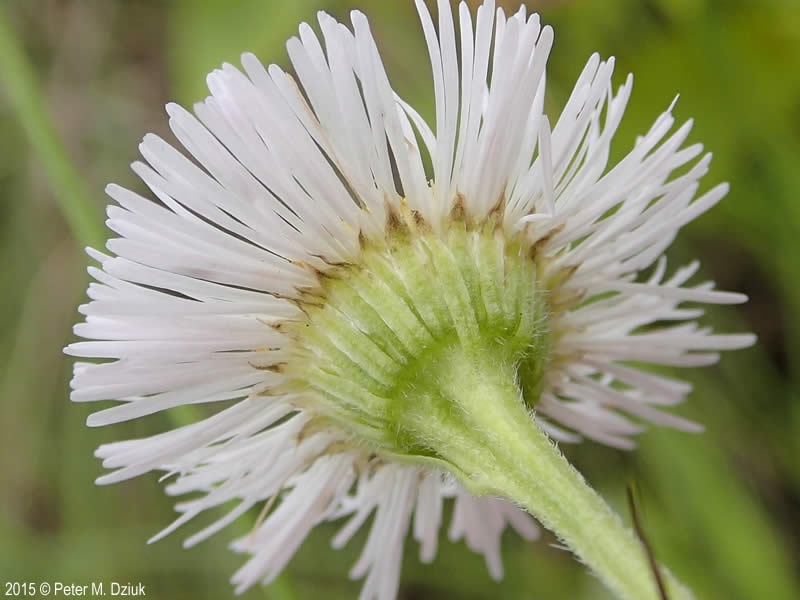 Erigeron philadelphicus flower-head back. 2015 © Peter M. Dziuk. Minnesota Wildflowers. minnesotawildflowers.info
