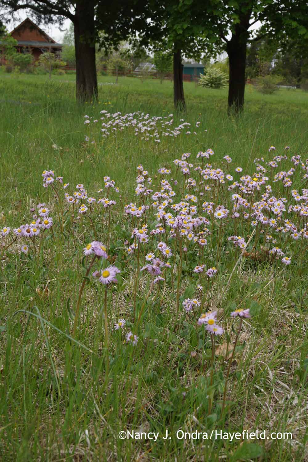 Erigeron pulchellus in a field. ©Nancy J. Ondra/Hayefield. hayefield.files.wordpress.com
