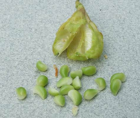 Erythronium americanum seeds and fruit.Sottish Rock Garden Club.srgc.
