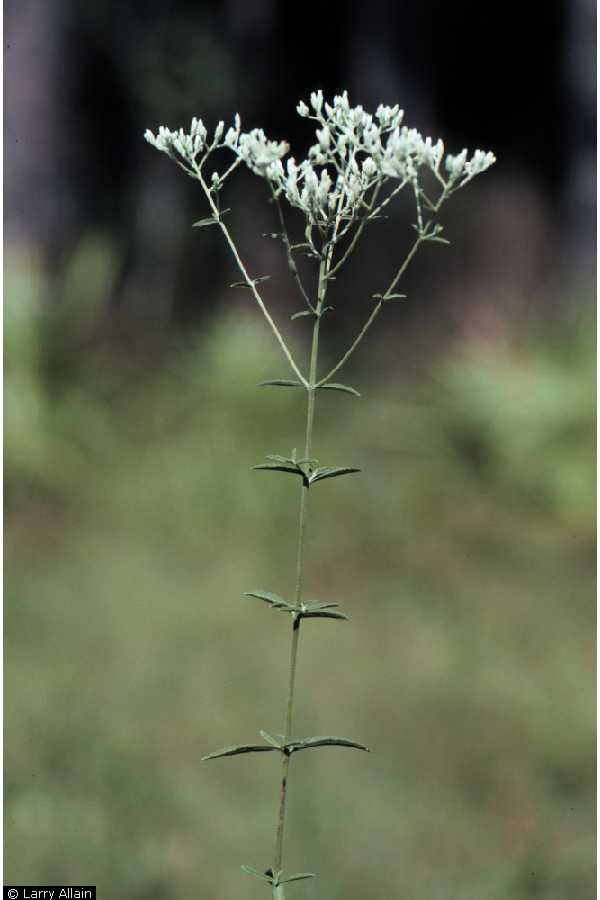 Eupatorium leucolepis Larry Allain @ USDA-NRCS PLANTS Database
