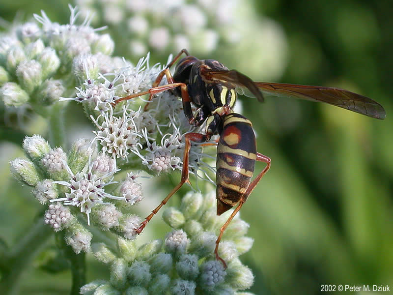 Eupatorium perfoliatum flower heads. with wasp. 2002 © Peter M. Dziuk. Minnesota Wildflowers. minnesotawildflowers.info