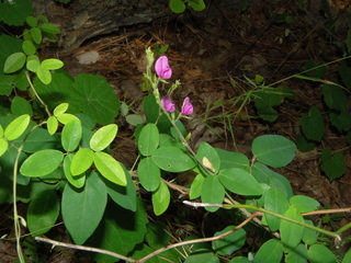 Lespedeza procumbens.Sarah Topper.www.discoverlife.org