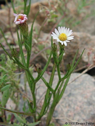 symphyotrichum-tenuifolium-annual-salt-marsh-aster-2002-eleanor-saulys-2015-connecticut-botanical-society-org