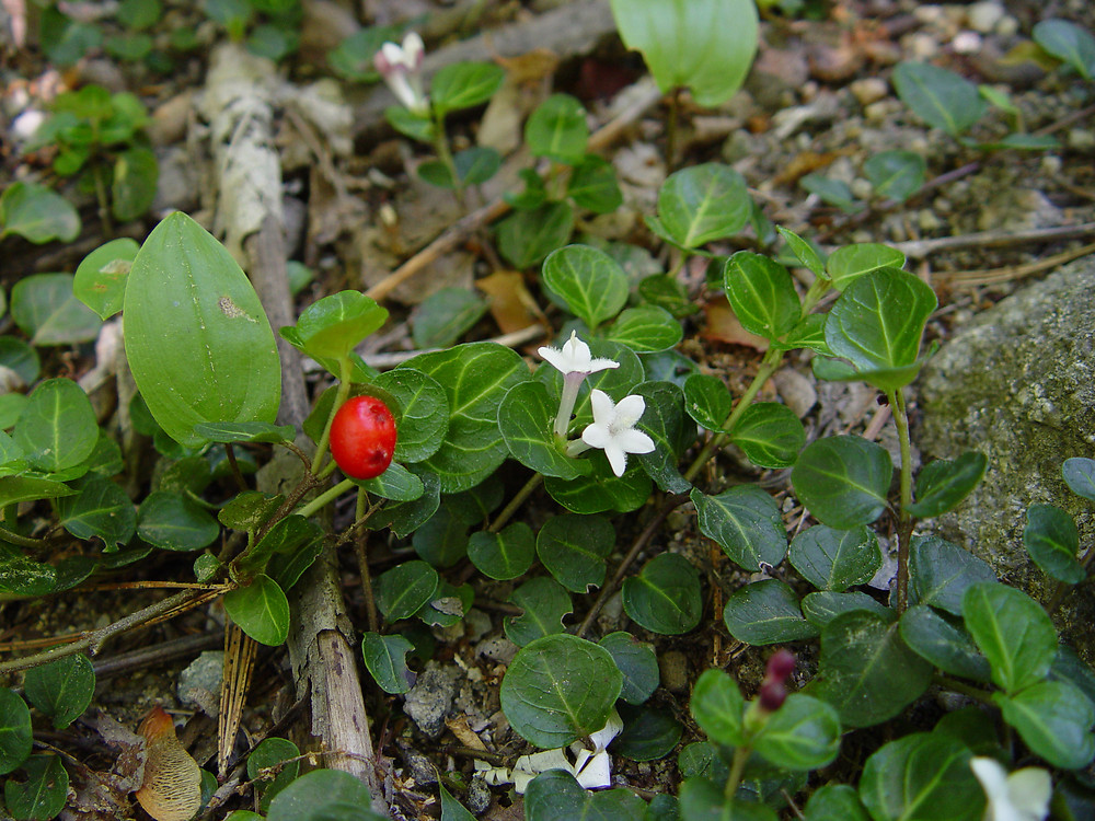 Mitchella repens.Donald Cameron.New England Wild Flower Society.gobotany.newenglandwild.org