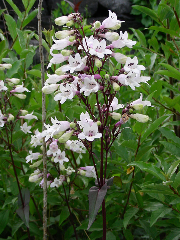 Penstemon digitalis.David G. Smith.delawarewildflowers.org
