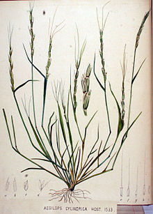 Aegilops cylindrica.it.wikipedia.org