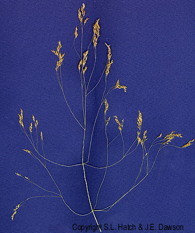 Agrostis_hyemalis_i. copyright S. I. Hatch & J. E. Dawson. Center for the Study of Digital Libraries. Texas A&M University. botany.csdt.tamu.edu