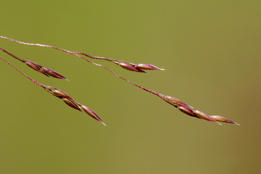 Agrostis scabra.copyright 2002-2009, Patrick Alexander.polyploid.net (Accessed 4/2015).