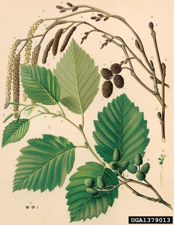 Alnus incana.forestryimages.org
