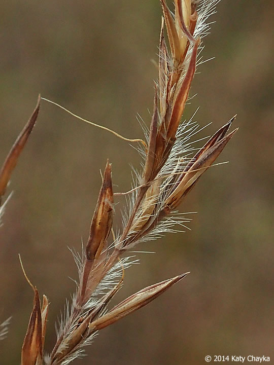 Andropogon gerardii  (big-bluestem) fruiting spikelets.  © 2014 Katy  Chayka. Minnesota Wildflowers. minnesotawildflowers.ifo