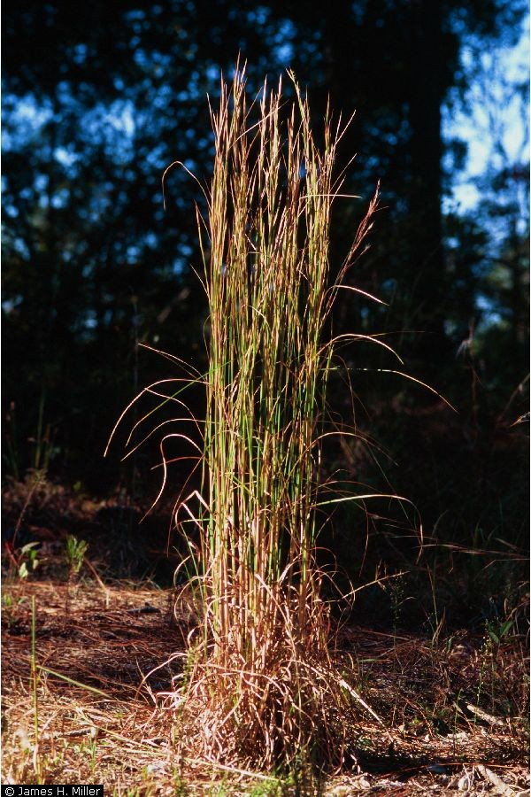 Andropogon virginicus.James H. Miller and Karl V. Miller. 2005. Forest plants of the southeast and their wildlife uses. University of Georgia Press, Athens