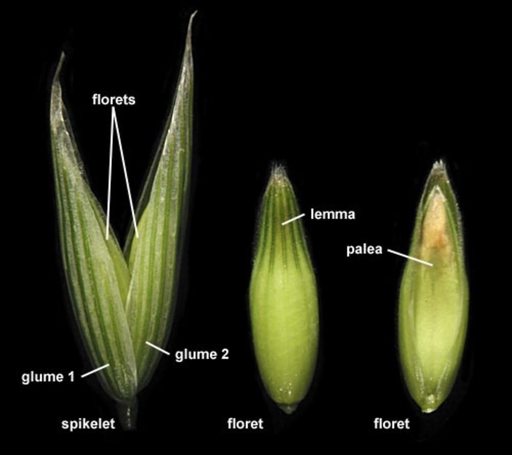 Avena sativa. spikelet labeled. By Anna Gardner. Copyright © 2017.  Ada Hayden Herbarium - Iowa State U. New England Wild Flower Society. gobotany.newenglandwild.org