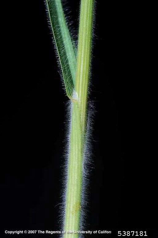 Bromus hordeaceus leaf and stem. By Joseph DiTomaso. Copyright © 2017 CC BY-NC 3.0. www.bugwood.org. New England Wild Flower Society. gobotany.newenglandwild.org