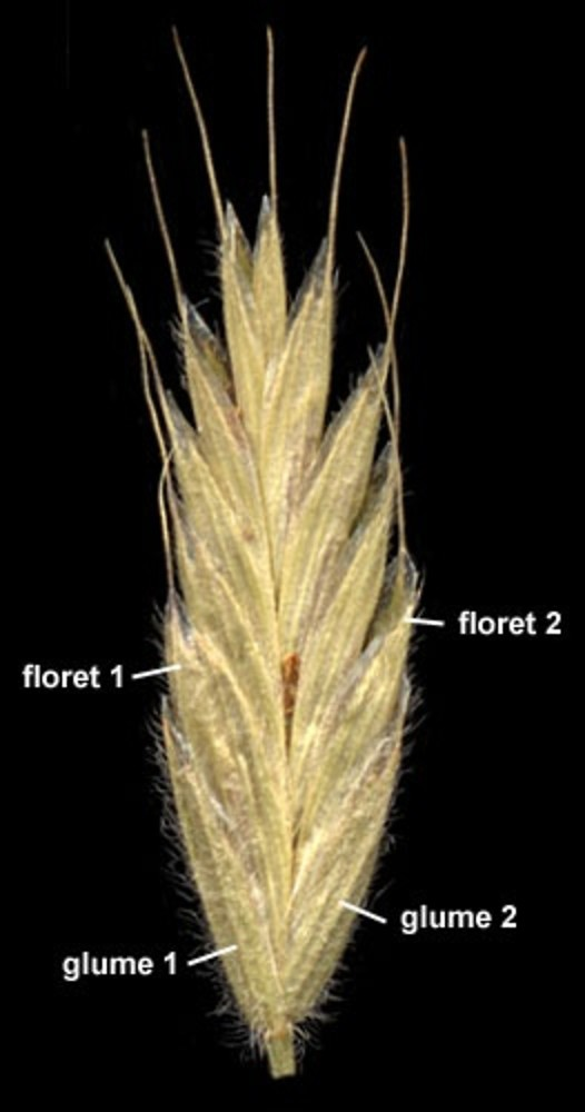 Bromus hordeaceus spikelet labeled. By Anna Gardner. Copyright © 2017. Ada Hayden Herbarium - Iowa State U. New England Wild Flower Society. gobotany.newenglandwild.org