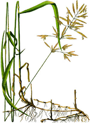Bromus inermis.Food and Agriculture Organization of the United Nations.www.fao.org