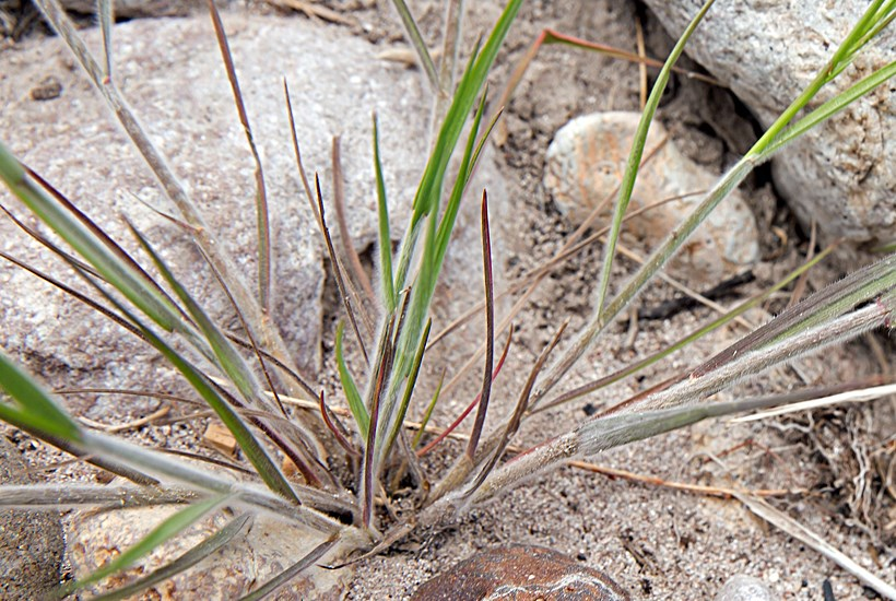 Bromus japonicus base of plant. ©Russ Kleinman, Bill Norris & Richard Felge/Vascular Plants of the Gila Wilderness/http-//www.gilaflora.com/www.wnmu.edu. Invasive Species Compendium. cabi.org