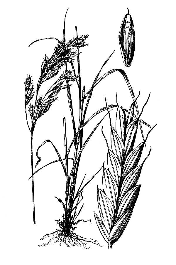 Bromus secalinus.USDA-NRCS PLANTS Database.Hitchcock, A.S. (rev. A. Chase). 1950. Manual of the grasses of the United States. USDA Miscellaneous Publication No. 200. Washington, DC.