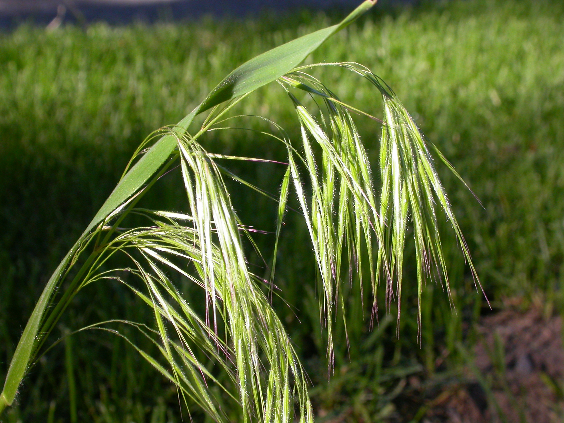 Bromus tectorum inflorescence.commons.wikipedia.org